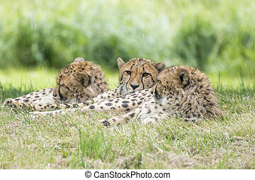 Gepard - Three in a row