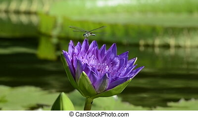 Purple flower with Lily Pad - A dragon fly lands on the...