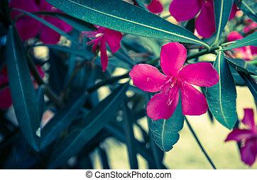 oleander flower - vivid purple oleander flower detail and...
