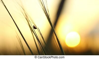 Ladybird Crawls Through the Grass at Sunset - Beautiful...