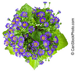 cineraria top view isolated on white