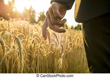 Businessman walking through a golden wheat field reaching down with his hand touching an ear of ripening  wheat