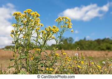 Goldenrod - Solidago virgaurea in Luxembourg on a sunny day