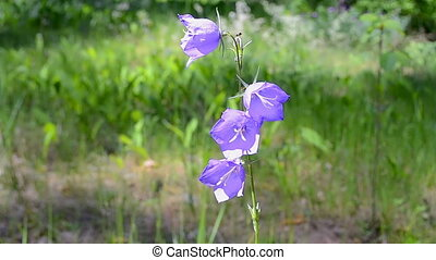 bluebell (bell-flower) in the forest in sunny day, summer...