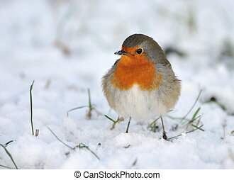 Cute robin on snow in winter Erithacus rubecula