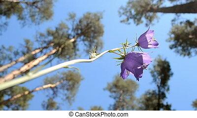 bell-flower (bluebell), forest. - bluebell (bell-flower) and...