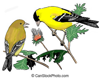 American Goldfinch - Spinus tristis - pair