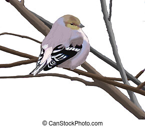 American Goldfinch - Spinus tristis - winter