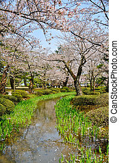 Cereza, flor, corriente, japón,
