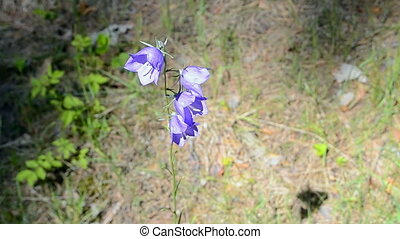 bluebell (bell-flower), forest. - bluebell (bell-flower) and...