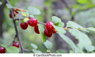 nanking cherry (prunus tomentosa). - red berry of nanking...