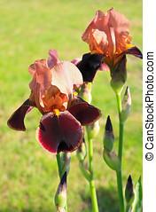 Iris barbata Brasilia - Blooming iris close up growing in...