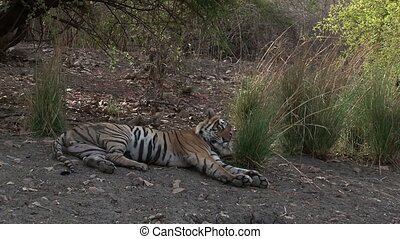 Bengal Tiger relaxing in shade - Bengal Tiger Panthera...