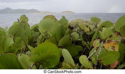 Sea Grape Leaves Blowing in Wind - Sea grape leaves blow in...
