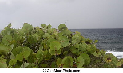 Sea Grapes with Caribbean in Back - Sea grapes blow in the...