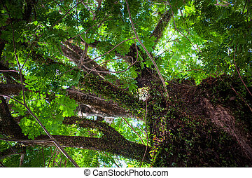Jungle tree with big crown and lianas. view on top