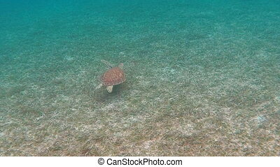 Green Sea Turtle Swims Over Grass - A small green sea turtle...