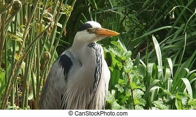 grey heron Ardea cinerea stands still - moves head - close...