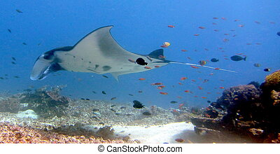 Manta Ray - Manta ray flying by