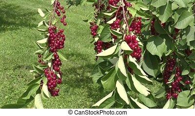 Bird cherry Red sways in the wind - Bird-cherry Red sways in...