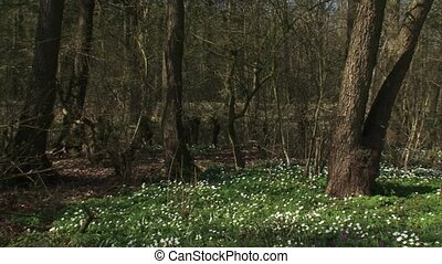 Wood anemones, anemone nemorosa blooming in deciduous forest...