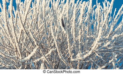 Tree Branches With Hoarfrost in Frosty Winter Park