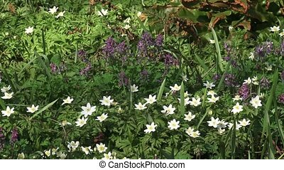 Wood anemones and Bird in a bush, Corydalis, blooming in...