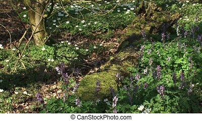 hold + pan Bird in a bush, Corydalis - Wood anemones...