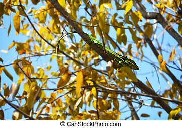 Iguana on tree - Gecko or iguana pet picture background