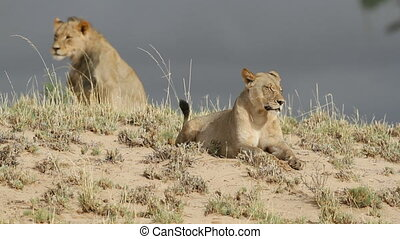 African lions - Pair of African lions Panthera leo on a sand...