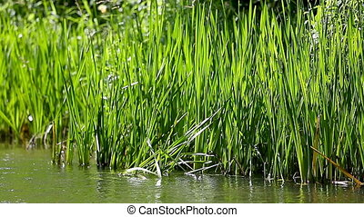 Grass by a River in summer breeze