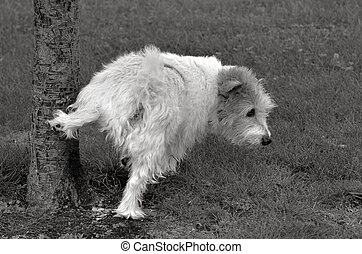 Norfolk Terrier pee on a tree in the park. (BW)