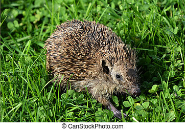 Sick Hedgehog - HAMILTON ,NZL - MAY 27 2015:Sick Hedgehog...
