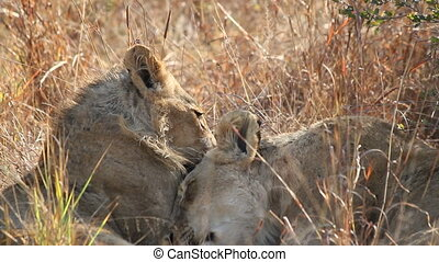 Lion interaction - Two African lions (Panthera leo) grooming...