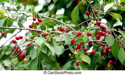 Cherry Tree Full Of Red Cherries