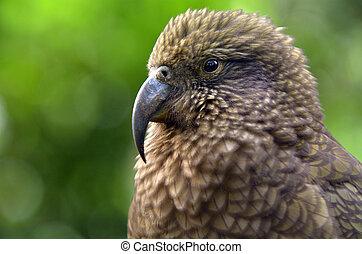 Kea parrot portrait (Nestor notabilis).It's the world's only...