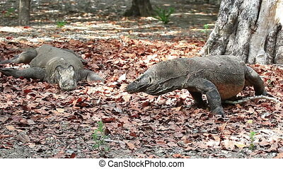 Komodo dragon couple - Male Komodo dragon reacts while...