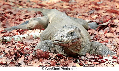 Komodo dragon looks at the camera  on a forest litter
