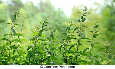 Nettle In The Forest - Nettle in forest Prickly nettle