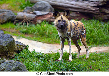 Alert Painted Hunting Dog in Savannah grasslands looks at...