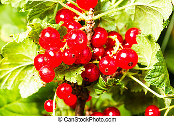 redcurrant on green background