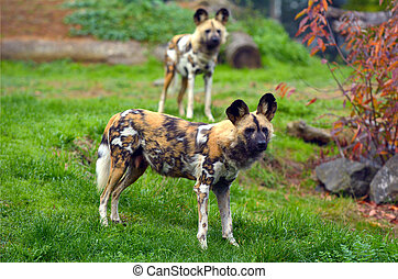 Alert Painted Hunting Dogs - Alert Painted two Hunting Dogs...