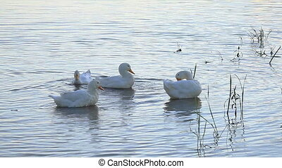 White ducks - The morning toilet of white ducks