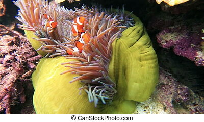 Tropical fish Clownfish - Anemone and clownfish close-up