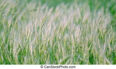 Young green wheat swaying