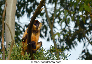 Spider Monkey sit on a tree in rainforest canopy - Spider...
