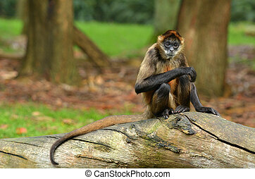 Spider Monkey sit on a tree trunk - Portrait of a Spider...
