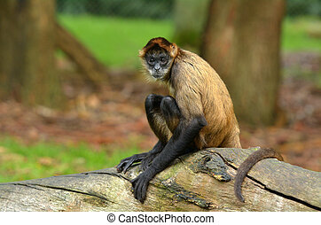 Spider Monkey sit on a tree trunk - Spider Monkey (Ateles...