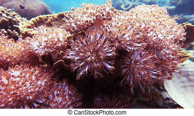 Pulse soft coral Pulsing Xenia, Red Sea Xenia Pom Pom Coral,...