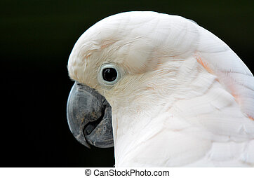 Portrait of Salmon-crested Cockatoo male face (Cacatua...